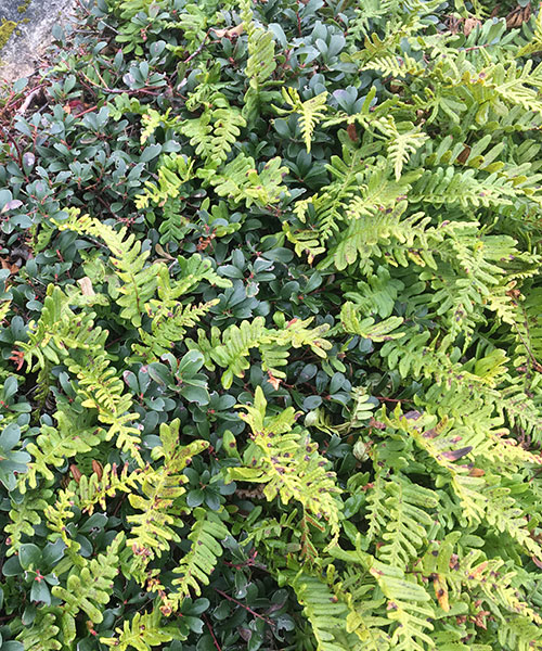 Maidenhair Fern - Adiantum-aleuticum