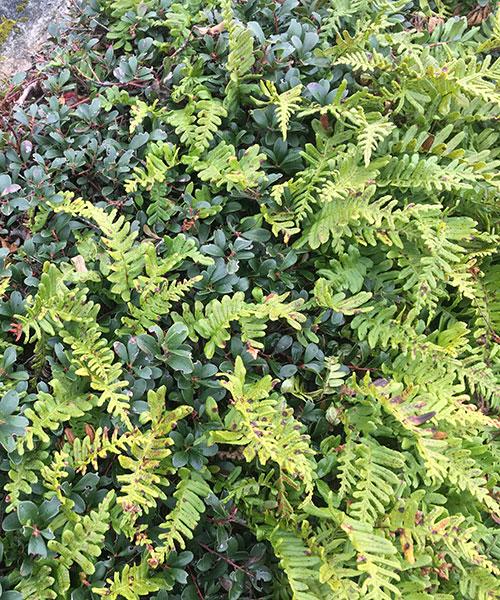 Licorice Fern - Polypodium