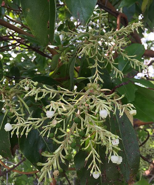 Pacific Madrone - (Arbutus menzieii)