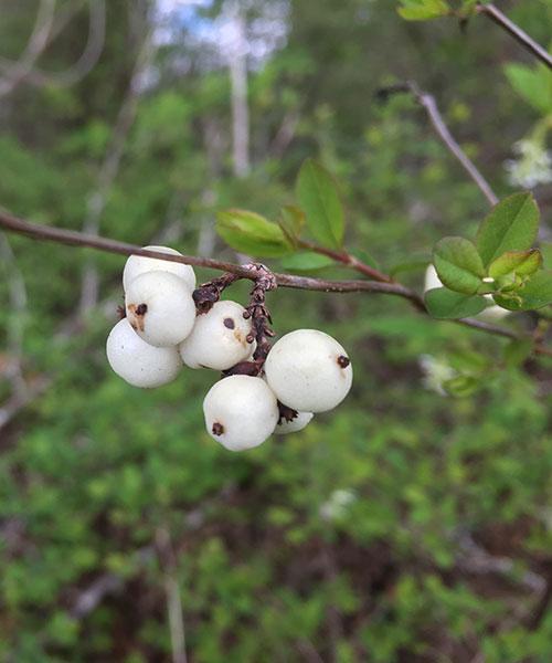 Snowberry - (Symphoricarpos albus)
