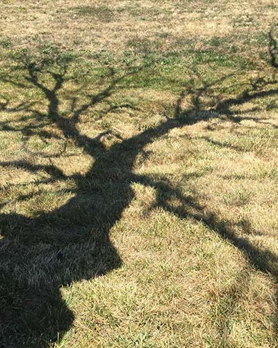 Shadow of a lost Garry oak tree in Oak Harbor on NAS Whidbey Island Victory Terrace housing.