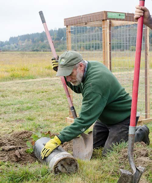 Volunteer planting Garry oak tree in Freund Marsh Park, Oak Harbor, WA