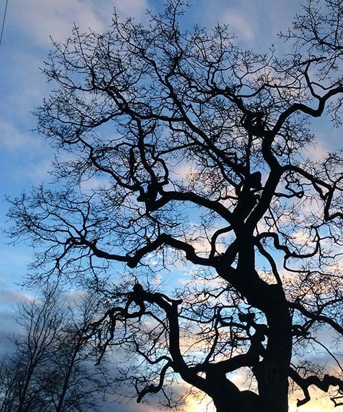 Heritage Tree Program - Special Garry oak trees in Oak Harbor, WA