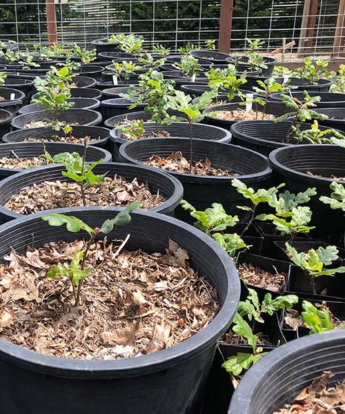 Nurseries for Growing Garry Oak Trees