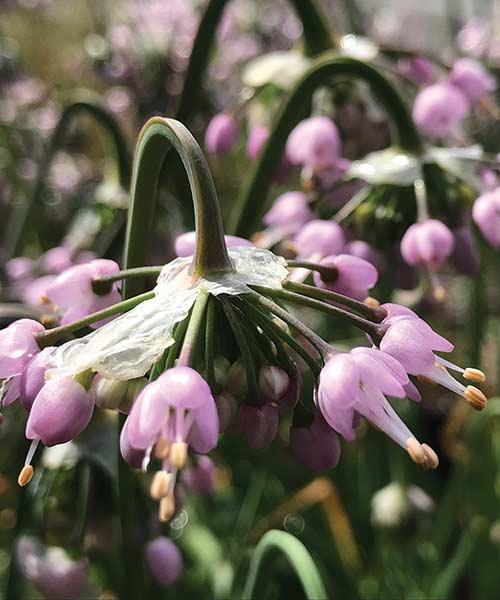 Nodding Onion (Allium cernuum)