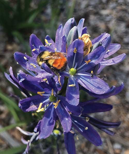 Small Camas (Camassia-quamish)